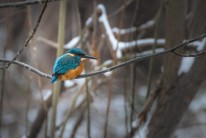 "Word of the day: ""Eisvogel"" - German for kingfisher, literally ""ice-bird""; in Russian Зимородок, lit. ""winter-born"""