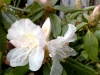 Beautiful white rhododendron