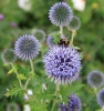 Bees and Echinops