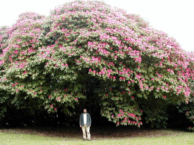 Rhododendron @ Tregullow