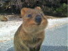 Quokka's - the happiest animal in the world?
